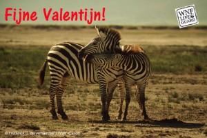 zebra-duo-valentijn
